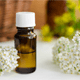 7 Amazing Benefits Of Yarrow Essential Oil